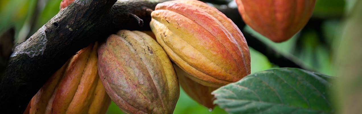 cocoa ingredient the body shop