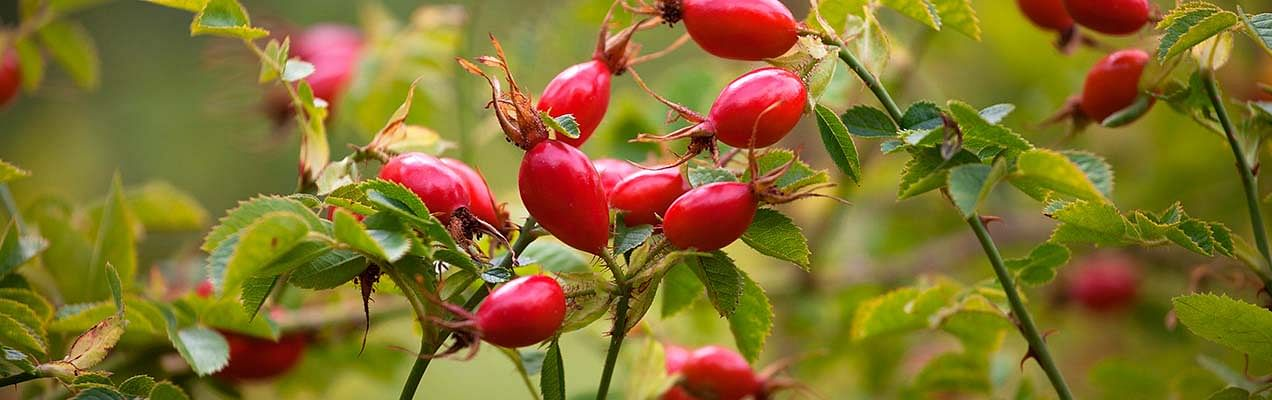 rosehip seed ingredient the body shop