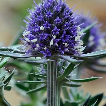 ingredient sea holly stem cells